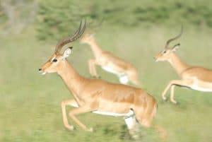 gazelles en état de stress